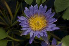 Lila Flower Yellow Bloom http://madipix.com/lila-flower-yellow-bloom/