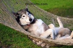 Visit WolfGifts.com for more cool wolf photos. Cool Pets, Cute Dogs, Funny Animals, Cute Animals, Animal Fun, Go Dog Go, German Shepherd Husky, Wolf Photos, Golden Retriever