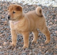Trixie: Female, Golden Pei (Golden Retriever and Shar-Pei mix): Looks just like Lilly as a pup! Shar Pei Mix, Baby Dogs, Dogs And Puppies, Doggies, Poodle Puppies, I Love Dogs, Cute Dogs, Cleaning Dogs Ears, Beagle