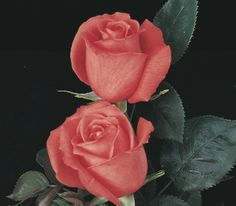 Hybrid tea roses are best known as the traditional long stemmed cut rose. Hybrid tea roses produces flowers that are nicely formed with large, high-centred