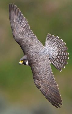 Fall and Rise of the Peregrine Falcon | wildfowl-carving.com