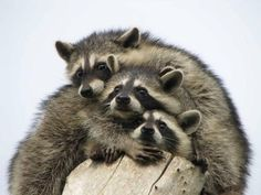 Mapaches #Animals