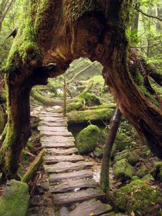 Primeval forest, Shiratani, Unsuikyo, Japan
