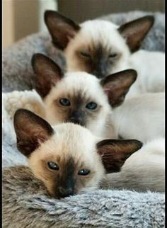 We are Siamese if you please....Tap the link to check out great cat products we have for your little feline friend!