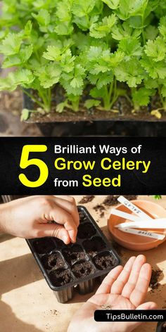 Learn how to plant celery, or Apium graveolens, in your garden. Since it has such a long growing season, it's best to start celery seedlings indoors. Find out the best tips for germination, transplanting, and harvesting homegrown celery. #howto #grow #celery #seed Celery Plant, Grow Celery, Backyard Vegetable Gardens, Indoor Gardening, Gardening Tips, Insect Eggs, Seed Dispersal, Biennial Plants, Starting Seeds Indoors