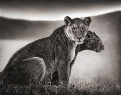 lionesses act as one to become a creative and strategic force.