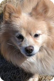 South Amboy, NJ - Pomeranian. Meet Peter O'Drool, a dog for adoption. http://www.adoptapet.com/pet/12803520-south-amboy-new-jersey-pomeranian