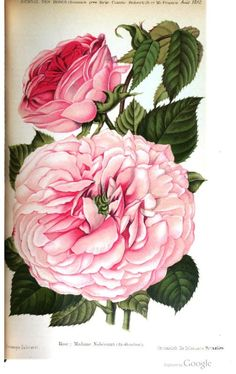 Rose: Madame Nobecourt. Plate from 'Journal des Roses'  A. Lebrun, 1897
