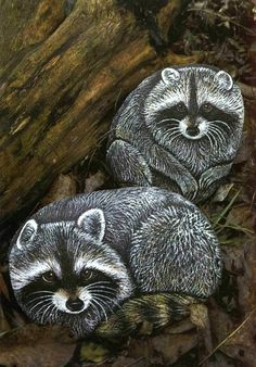 Coons Painted On Rocks