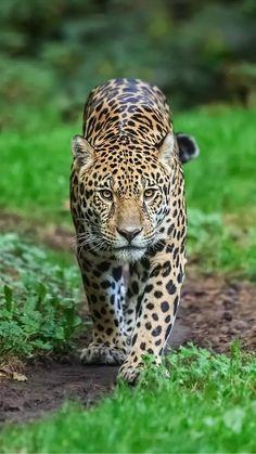 Frontal View Walking Jaguar Panthera Onca Stock Photo (Edit Now) 744175588 Nature Animals, Animals And Pets, Baby Animals, Funny Animals, Beautiful Cats, Animals Beautiful, Big Cats, Cute Cats, Tiger Wallpaper