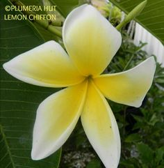 """""""Lemon Chiffon""""  size of blooms are 3.5""""-4"""" Awesome lemon fragrance very heavy bloomer and a medium grower"""