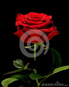 Single red rose  Available all year