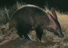 Aardvark Nigel Dennis