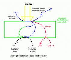 le dioxygène du CO2, radioactif, ne se retrouve pas dans l'oxygène rejeté par la plante. Il est intégré au glucose synthétisé. La seule source de dioxygène utilisable alors est donc l'eau. Or on peut écrire : Les électrons perdus par la chlorophylle sont donc récupérés par la cassure de la molécule d'eau (photolyse de l'eau).