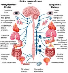 The Central Nervous System. and What your Parasympathetic runs and What your Sympathetic Runs. All this is backwards and wrong for someone with Dysautonomia A.K.A. Postural Orthostatic Tachycardia Syndrome