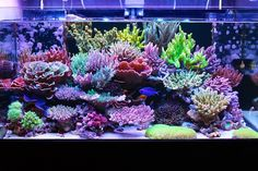 Beautiful live corals in a salt water tank
