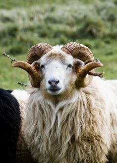 """Sheep of an old Baltic breed called """"Škudės"""""""