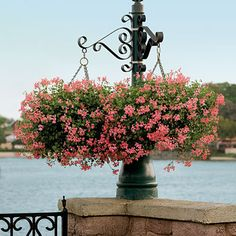Cascading Geraniums --   Mini Cascade ivy geraniums take the summer heat and keep on blooming.