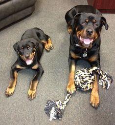 Rottweiler Information and Pictures, Rottweilers, Rottie, Rotties