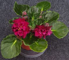 african violet  Harmony's Frilly Girl  plant in 4 inch pot SMALL PLANT