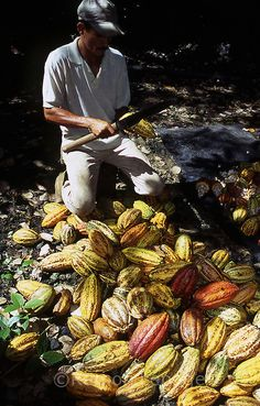 harvesting cacao beans from the ripe pods, Venezuela