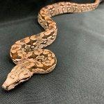 The Fall 2019 Wasatch Reptile Expo Recap — ReptiFiles' Top Rosy Boa, Milk Snake, Corn Snake, Ball Python, Snakes, Reptiles, Sassy, Fall, Red