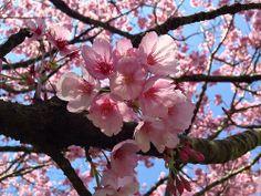 Adorable cherry blossom