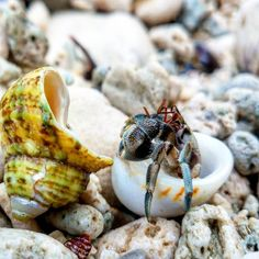 New Home #hermitcrab #hermitcrabs #crab #beach #shells #wildlifephotography #wildlife #myrmecologist #rainforest #nature #naturephotography #myrmecology #insect #insect_of_our_world #ip_insects #macro_highlight #macro #macrophotography #macroworld #ants #antphotography #macrophotograph #formicidae #macroclique #macro_brilliance #macro_spotlight #