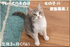 里親さんブロググレーとら&白の女の子☆家族募集 - http://iyaiya.jp/cat/archives/79633