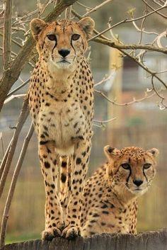 Beautiful two cheetahs