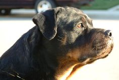 images of  rottweilers | rottweiler males rottweiler producing rottweiler breeding s rottweiler ...