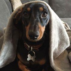 Did someone just say weekend??!!  IG @wolfi_the_sausage #sausagedoglove