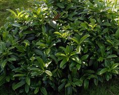 Gartenpflanzen Winterhart Immergrün 20 best immergrüne pflanzen images on pinterest | plants, gardening