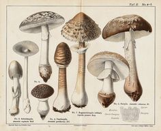 Ok I had to do Mushroom Love Part II. Since my last post showed how I used some mushroom decor in mine and my mother-in law's house, but he. Mushroom Decor, Mushroom Fungi, Vegetable Prints, Vintage Cooking, Retro Recipes, Antique Prints, The Good Old Days, Botanical Illustration, Retro Vintage
