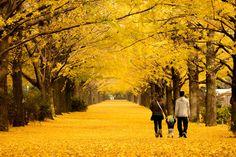銀杏並木。一面金色に包まれ、異世界感がある。