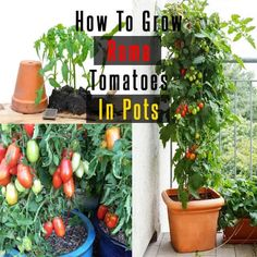 Grow Organic Tomatoes You can grow roma tomatoes similar to growing other tomato varieties. In this article learn how to grow roma tomatoes in pots in easy steps. Growing Tomatoes From Seed, Growing Tomato Plants, Varieties Of Tomatoes, Growing Tomatoes In Containers, Growing Veggies, How To Grow Tomatoes, Backyard Vegetable Gardens, Tomato Garden, Garden Plants