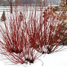 Arctic Fire Dogwood.  This variety is dwarf in form, reaching a height of 3 to 4 feet.  Location: front foundation plantings.