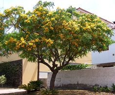Its a TIPU TREE!! Tipuana tipu.  that darn tree we thought was honey locust...