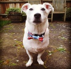 Here's Pip!!! Wearing our London Blocks dog collar and bow tie!! Available on toppooch.com