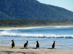 Kangaroos on a beach at Diamond Head, Crowdy Bay, NSW, Australia