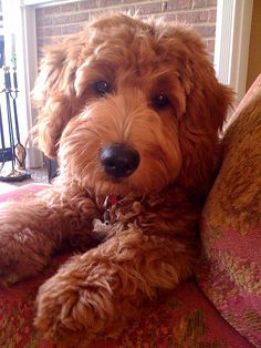 A Goldendoodle. I WANT a Goldendoodle right this minute! Chien Goldendoodle, Goldendoodles, Labradoodles, Cockapoo, Baby Dogs, Pet Dogs, Dog Cat, Pet Pet, Baby Animals