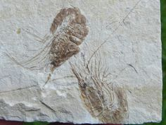 Image detail for -Lebanon Fossil Shrimp Jusassic