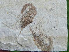 Image detail for -Lebanon Fossil Shrimp Jusassic