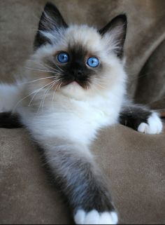 Ragdoll cat breeders - Ragdoll kittens for Sale in Ohio, Cincinnati, Columbus. Ragdoll cat breeders - Ragdoll kittens for Sale in Ohio, Cincinnati, Columbus. Cute Cats And Kittens, I Love Cats, Crazy Cats, Cool Cats, Kittens Cutest, Pics Of Kittens, Birman Cats For Sale, Weird Cats, Creepy Cat