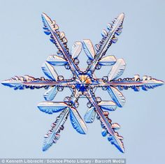 Snowflakes form when a cloud droplet first freezes into a tiny particle of ice. As water vapour starts condensing on its surface, the ice particle quickly develops facets, which form into different shaped snowflakes depending on temperature. Snowflake Photos, Snowflake Designs, Real Snowflakes, Snowflake Wallpaper, Snowflake Photography, Cool Pictures, Cool Photos, Amazing Photos, Funny Pictures