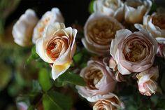 roses, my favorites