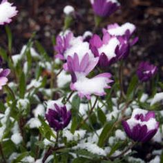 Second Time Around: Overwintering Annuals By Tricia Drevets (tdrevets) - Great Advice -