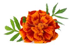 Orange Marigold flower, Tagetes erecta, Mexican marigold, Aztec marigold, African marigold isolated on white background royalty free stock photography Marigold Tattoo, Marigold Flower, Garden Front Of House, Farm Logo, Garden Inspiration, Garden Ideas, Spring Garden, Orange Flowers, Aztec