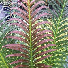 Blechnum brasiliense 'Volcano' plants from Thompson & Morgan - experts in the garden since 1855 Low Growing Shrubs, Growing Gardens, Shade Tolerant Plants, Shade Plants, Shade Garden, Garden Plants, Biennial Plants, Architectural Plants, Tree Fern