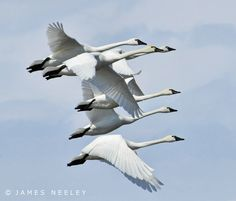 Upward Together | Tundra Swans fly in tight formation at the Camas National Wildlife Refuge in Hamer, Idaho. Thanks to James Harris for correcting me on this...These are not Trumpeter but Tundra Swans. I thought some bird shots would let me try out the 3D auto focus tracking of the D300. Definitely a great feature for moving targets! View large - 'Upward Together' On Black View the entire - Animals Set View my - Most Interesting according to Flickr